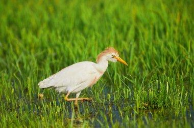 Cattle Egret in paddy field