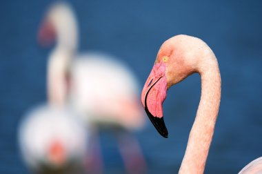 Portrait of a pink Flamingo