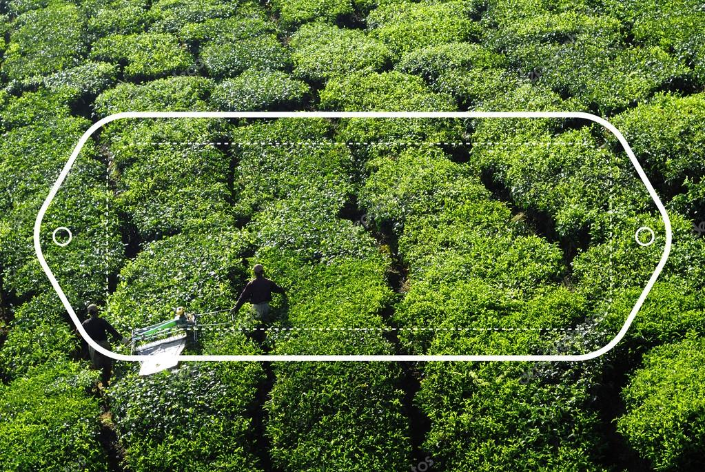 Pickers harvesting tea leaves
