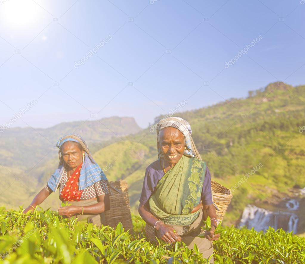 Two Tea Pickers Picking Leaves