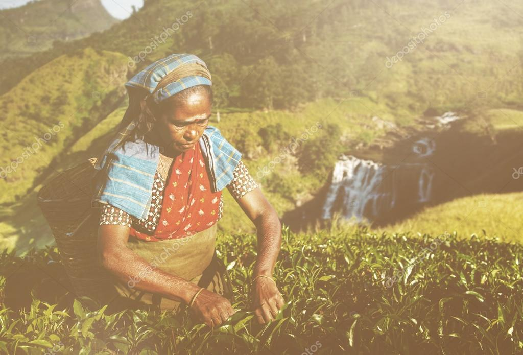 Women Tea Pickers in Sri Lanka