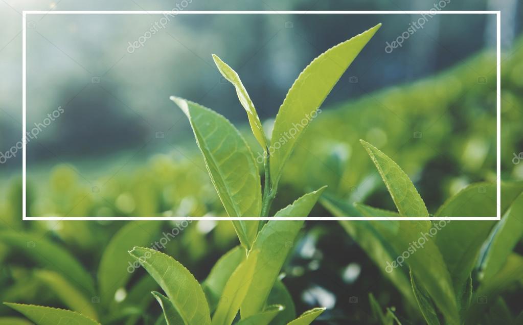 Green tea lives in plantation