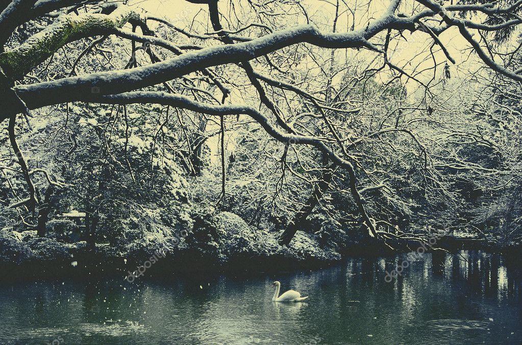 white swan in lake