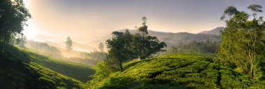 Bautiful tea plantation at sunrise