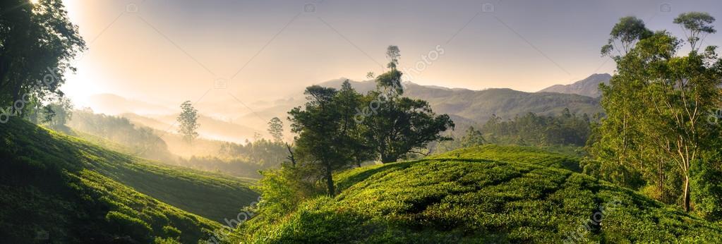 Bautiful tea plantation at sunrise