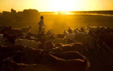 Kazakh boy herds goats for milking