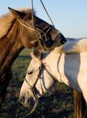 Two horses touching with each other