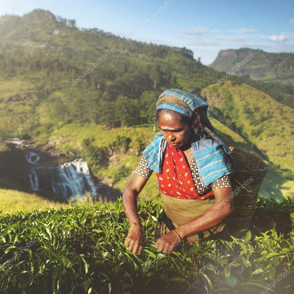 Tea Picker Picks Leaves Concept