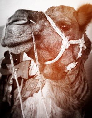 Camel in the Thar Desert