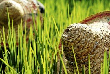 Asian Farmer Harvesting Rice