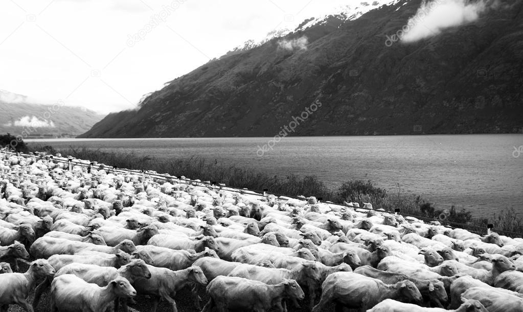 Herd Sheep near Scenic Lake