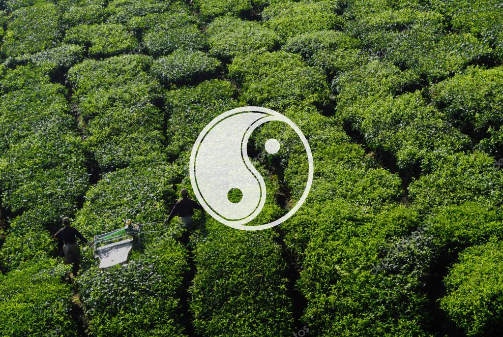 Pickers harvesting tea leaves