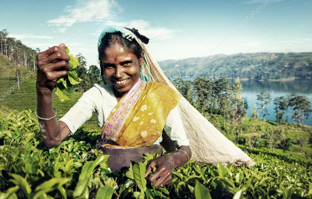 Woman Picking Tea Leaves Concept