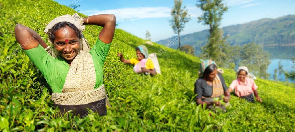 Tea Pickers Harvesting Concept