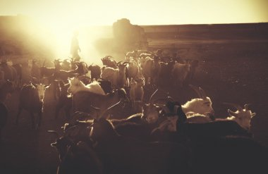 Kazakh boy herds his goats for milking