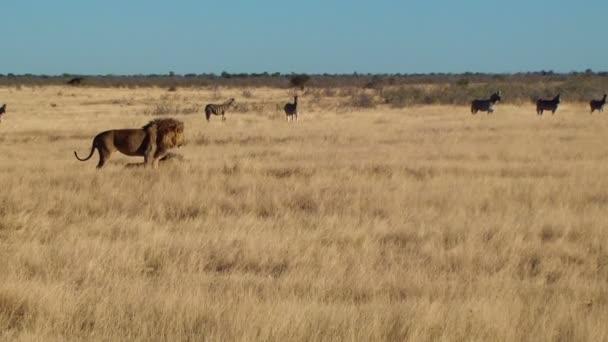 Muž Lev zívnutí chůze sit zebry na pozadí Etosha Namiba Afrika