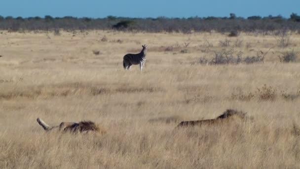 Mužské lvi odpočívající v trávě zebry na pozadí Etosha Namiba Afrika