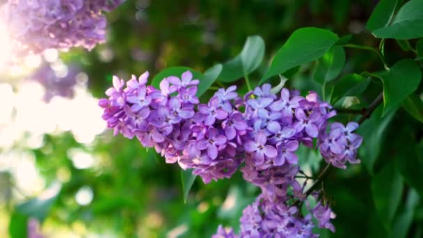 a large branch of lilac in the sunset rays of the evening sun