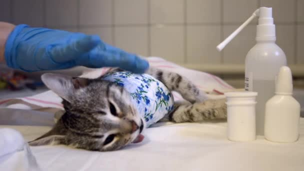 A womans hand in a medical glove strokes a sleeping cat before giving it an injection. Preparing your pet for a sterilization operation in a veterinary office.