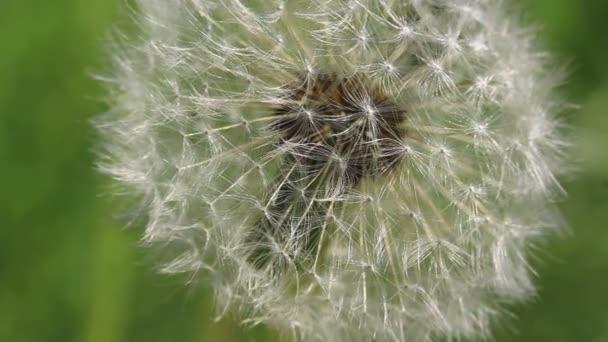 Pampeliška v letní zahradě. Makro snímek