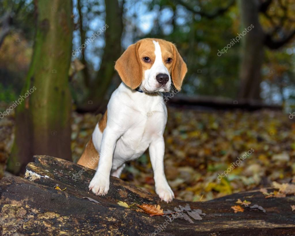 Beautiful Brown And White Beagle Dog Puppy Stock Photo C Mgstockphotography 123548812