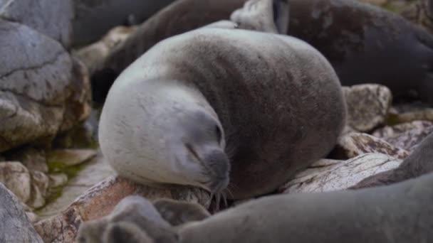 Seal nerpa pihenjen rock portré. Oroszlán nézz a kamerába szemekkel. Vadborjú állatok közelsége. Pusza