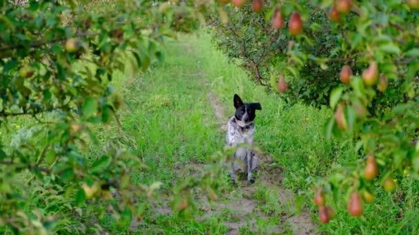 Černobílý pes sedí a běží uprostřed svazků hrušek a jablek v ovocné zahradě.Domácí zvíře, venkovská scéna. Organické, sklizeň, ovoce, vitamíny, domácí zvířata, zvířata, savci