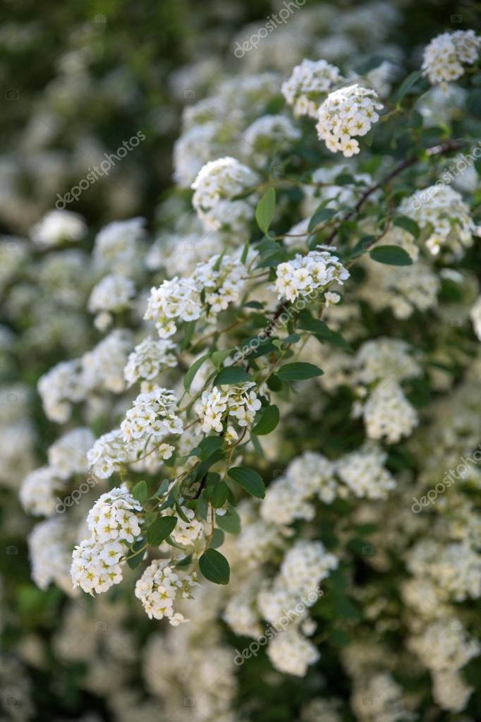 Arbustos Con Flor Blanca Blanca Flor De Arbusto De Spiraea En Un - Arbustos-de-flor