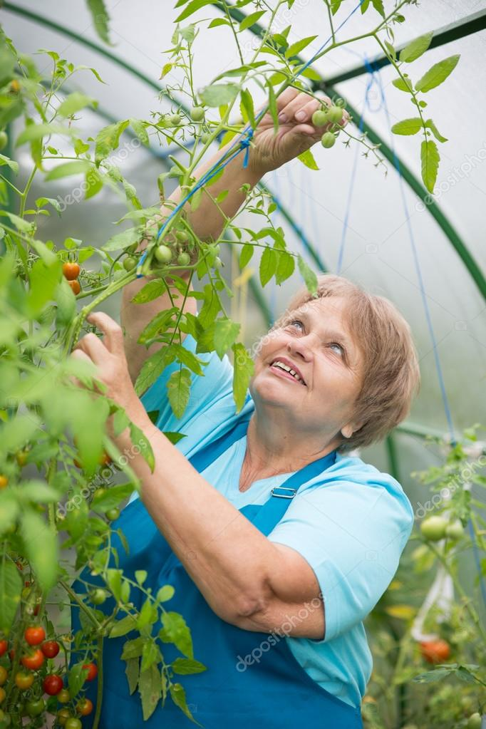 Senior pensioner woman collects tomato in greenhouse