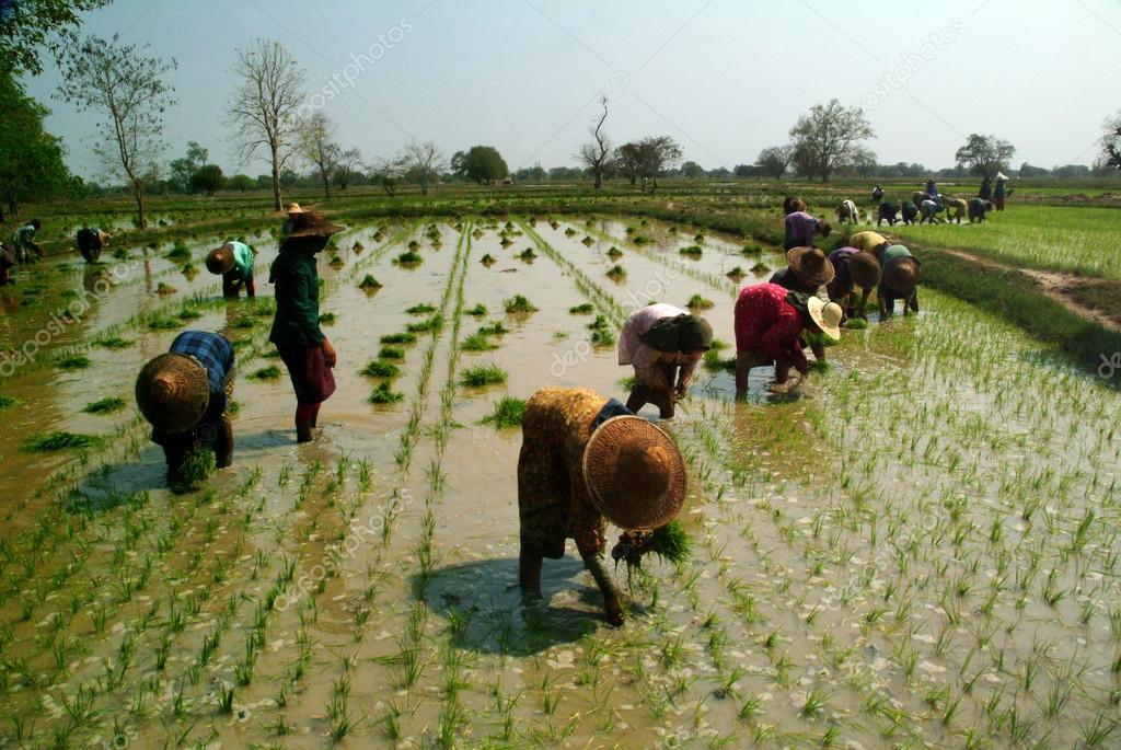 Myanmar farmer working in ricefield.