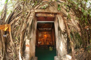 Old root tree around ancient Thai church.
