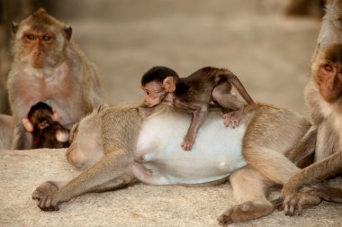 Monkey family in happiness .