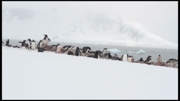 Gentoo pingvin: Neko Harbor rookery, Antarktisz