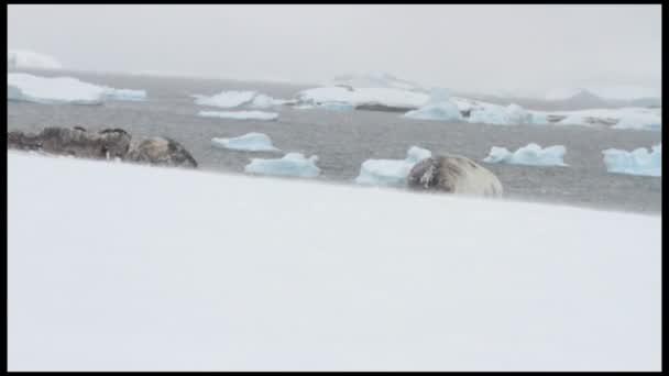 Neko kikötő hóban Weddell-fóka