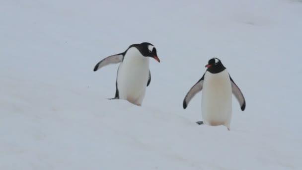 Pár gentoo pingvin