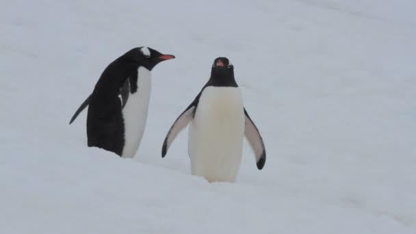 két gentoo pingvin