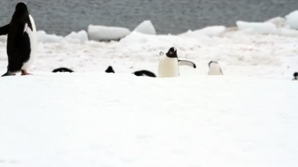 Getoo pingvinek Neko kikötőjében