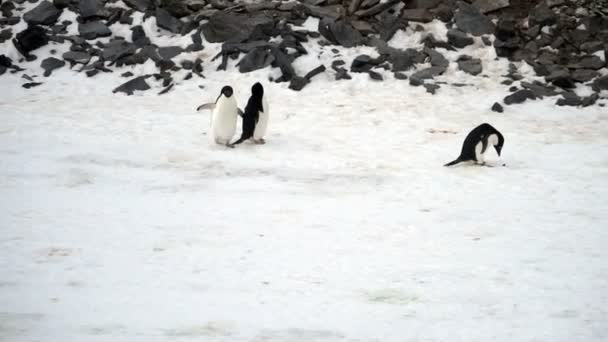 Adelie Penguins in snow, Paulet Island, Antarctica