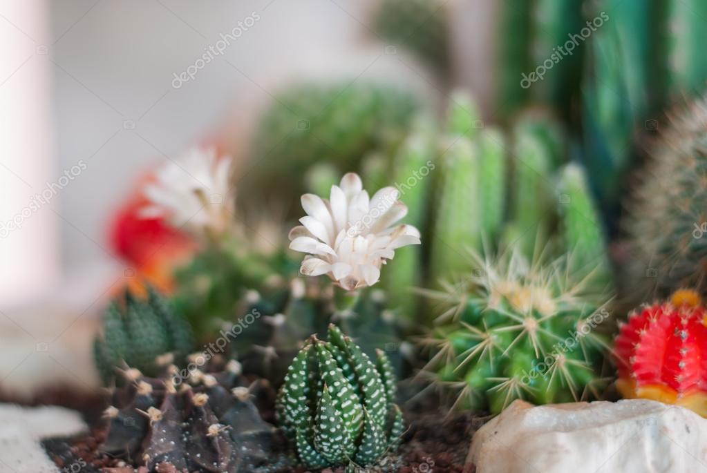 Flowering Cactus