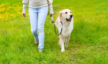 Owner and happy Golden Retriever dog on the grass walking in sum