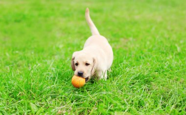 Beautiful dog puppy Labrador Retriever playing with rubber ball