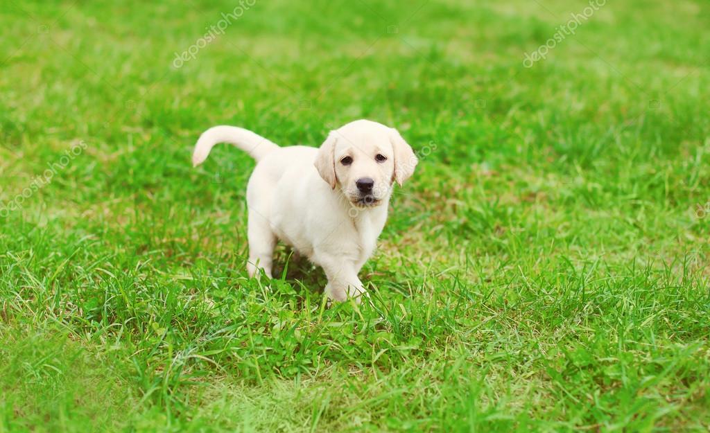 Cachorro Lindo Perro Labrador Retriever En Pasto