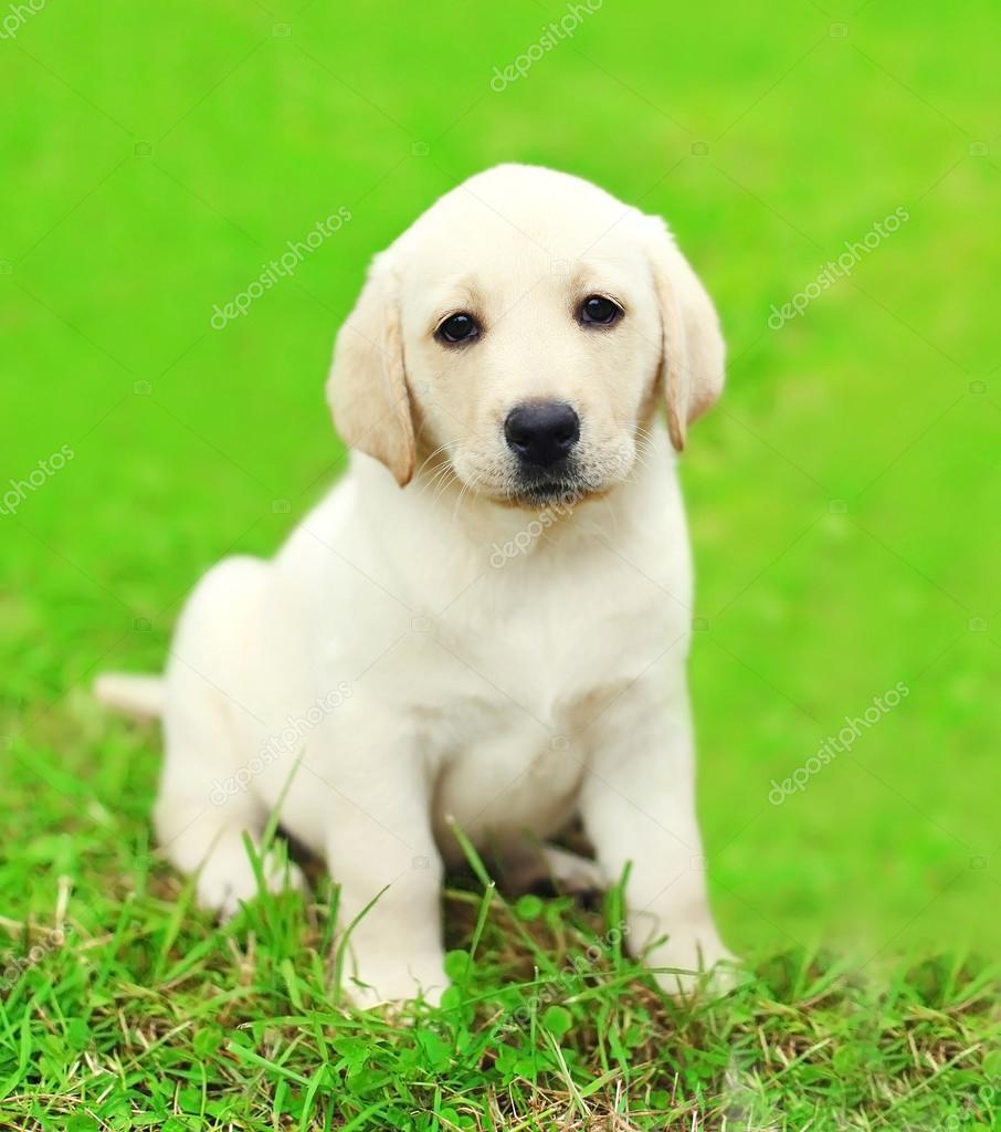Cute Dog Puppy Labrador Retriever Sitting On Green Grass Stock Photo C Rohappy 85025624