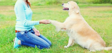 owner woman training Golden Retriever dog on grass, giving paw