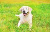 Happy Golden Retriever dog lying on grass in summer day