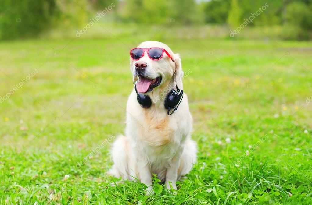Golden Retriever dog in red sunglasses with headphones listens t