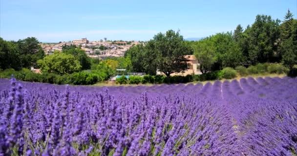 Valensole, Francie - 5. července 2020: Kvetoucí fialové levandulové pole ve francouzštině Provence