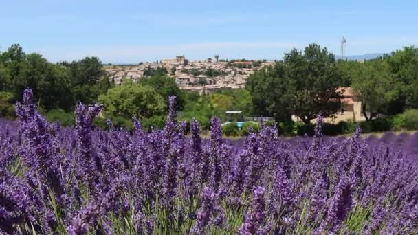 Valensole, Francie - 6. července 2020: Kvetoucí fialové levandulové pole ve francouzštině Provence.