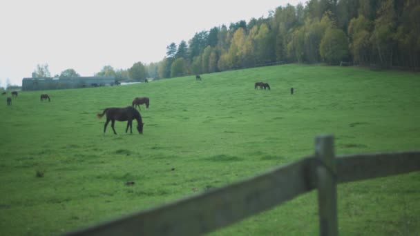 pasoucí se koně jedí trávu za dřevěným plotem a za žlutými stromy