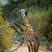Giraffe near tree in forest